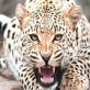 तेंदुए ने छह साल की बच्ची को बनाया शिकार