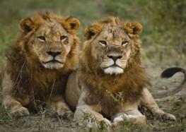 बूढ़े और जवान शेरों के झगड़े में उलझती कांग्रेस !