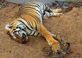 वन विभाग के अधिकारियों की आपसी रंजिश में मरते निरीह वन्य जीव !