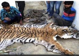 कैसे हो जांच जब बदल गए  बरामद बाघ की खालें और संदूक पर लगे ताले ?